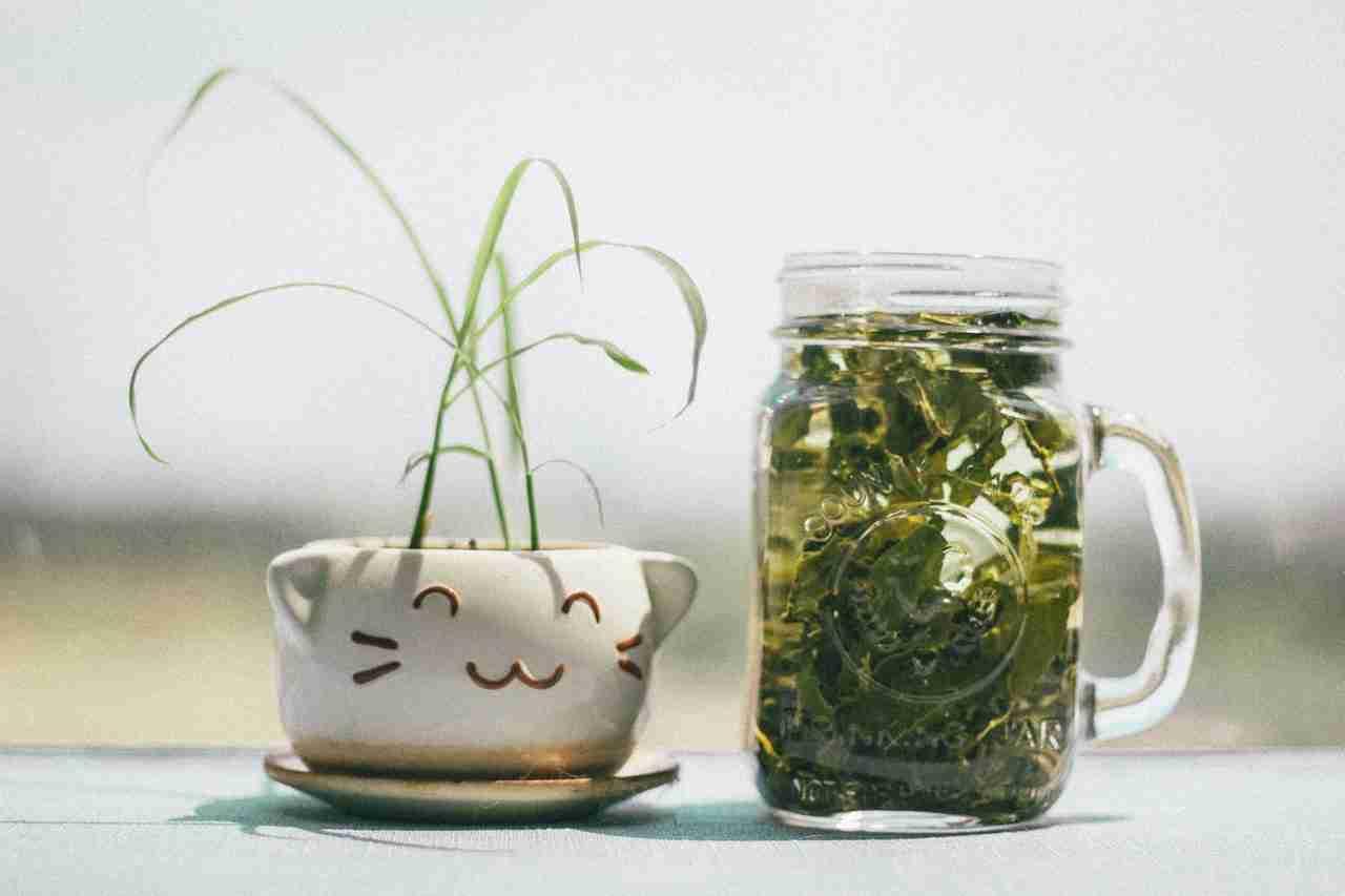 chá de unha de gato