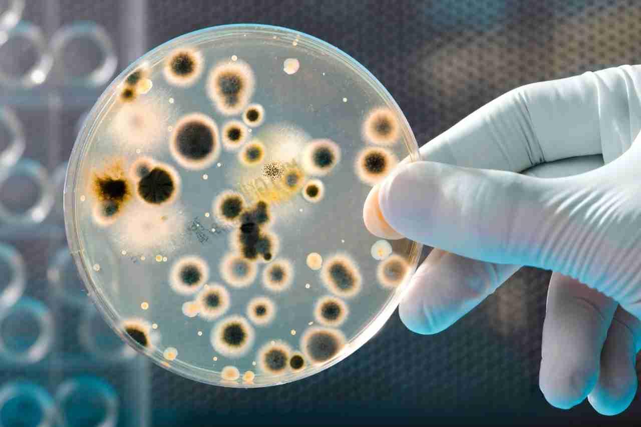 bactéria erisipela