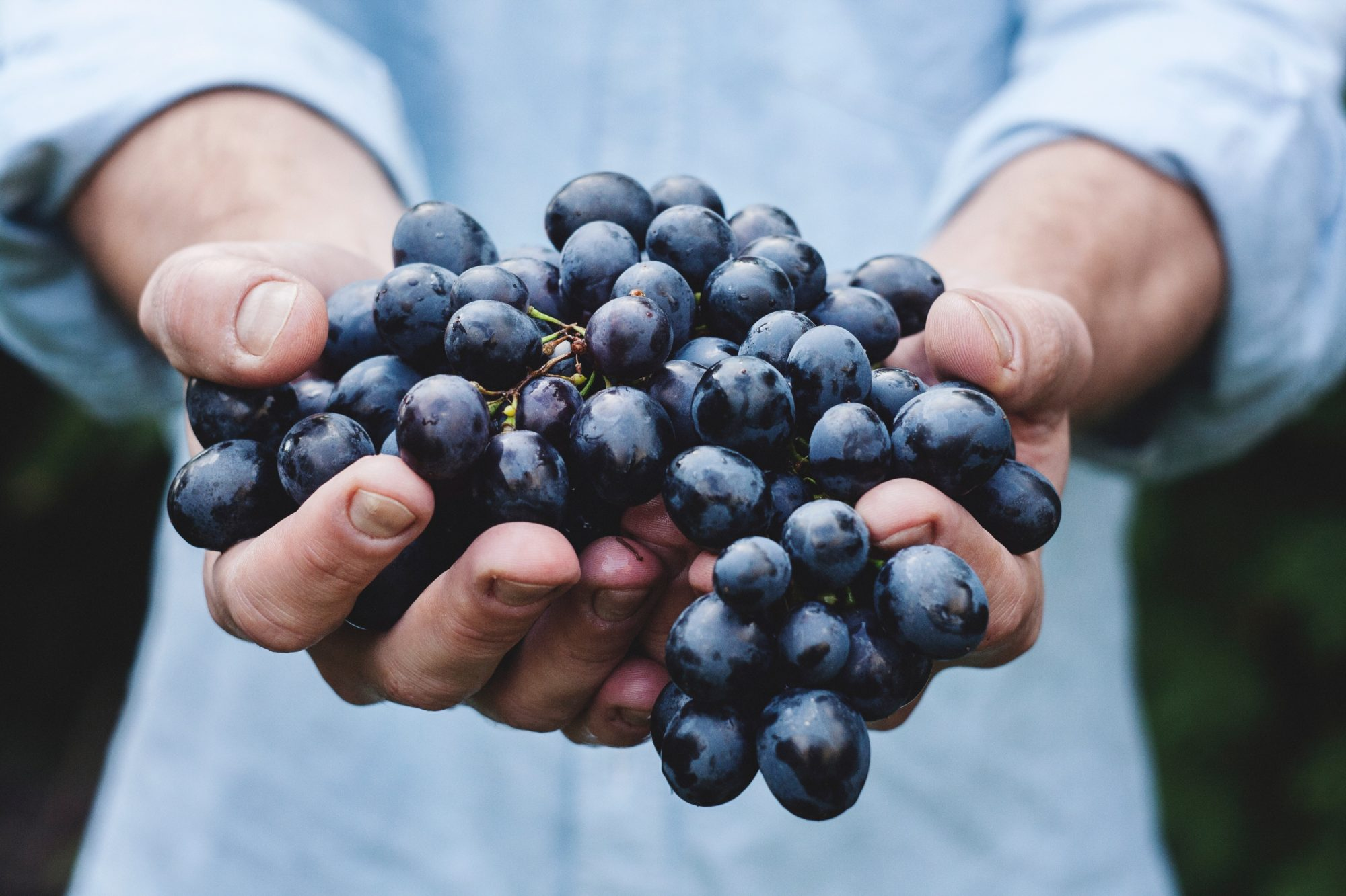 resveratrol na uva